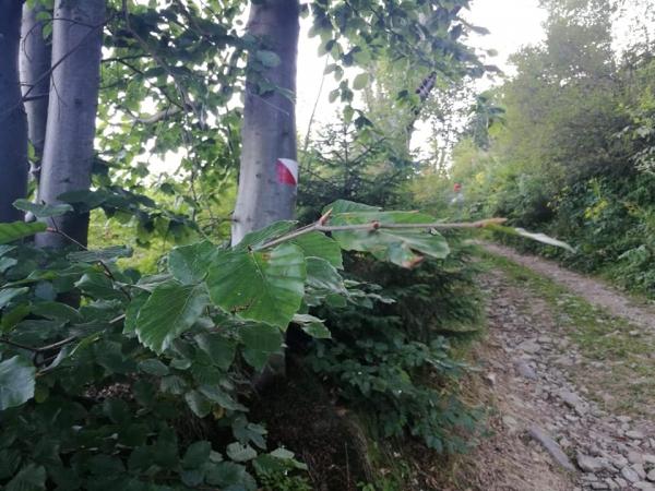 Dobra wiadomość dla miłośników górskich wędrówek. Szlak spacerowy na Kiczorę Kamienicką został ponownie oznakowany